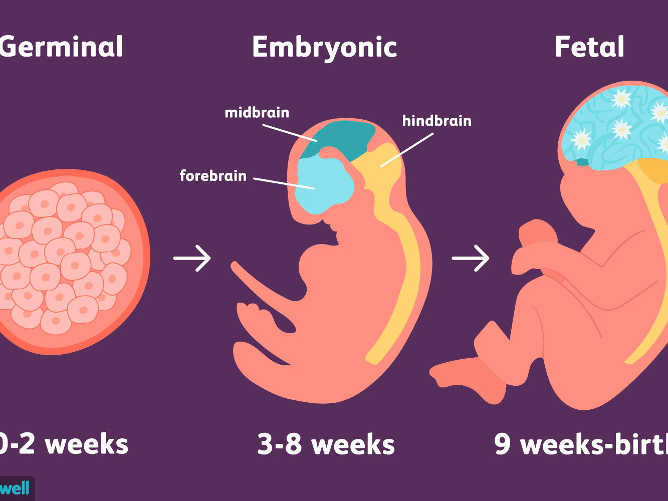 Fetal Development (from: https://www.verywellmind.com/stages-of-prenatal-development-2795073)